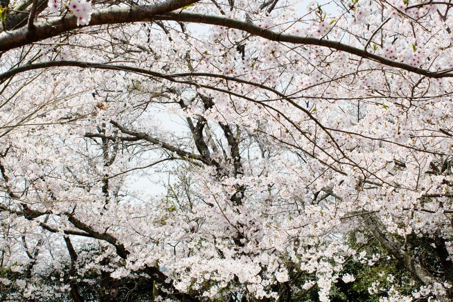 鎮懐石八幡宮の桜